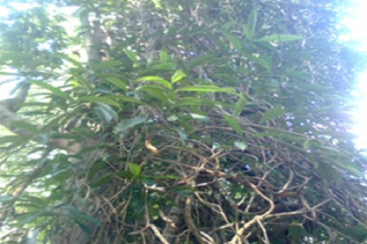 Fig.1:  Morinda reticulata Gamble