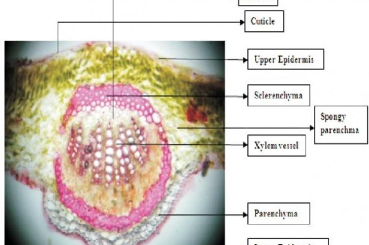 Transverse section of leaf midrib