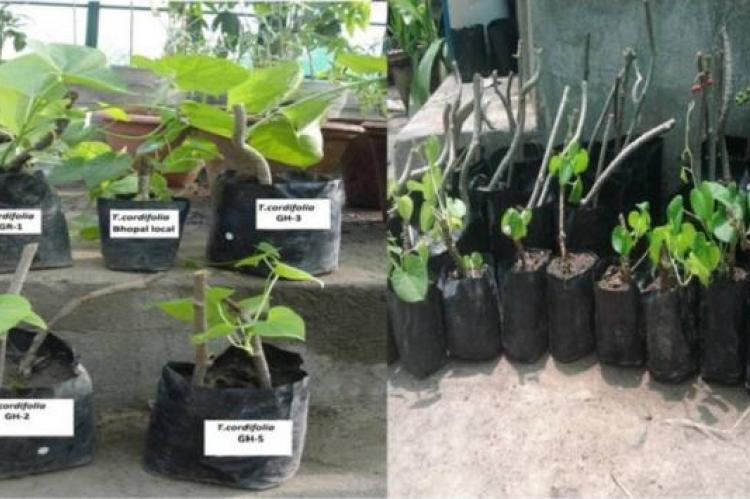 Nursery raising of different accessions of Tinospora cordifolia