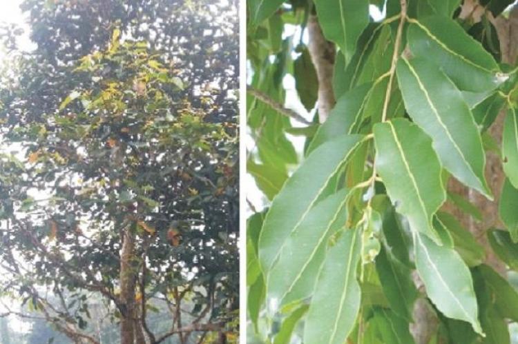 Syzygiumcumini