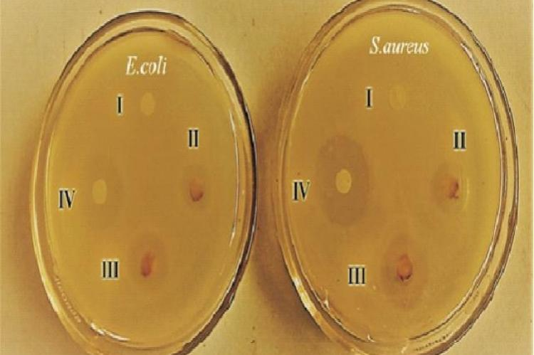 Anti-bacterial activity of AuNPs against E.coli and S.aureus after 24 hours of incubation