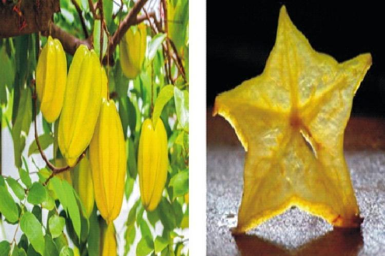 Averrhoa carambola Linn Fruit