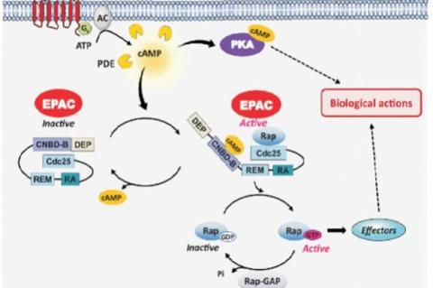 Path way of EPAC activation